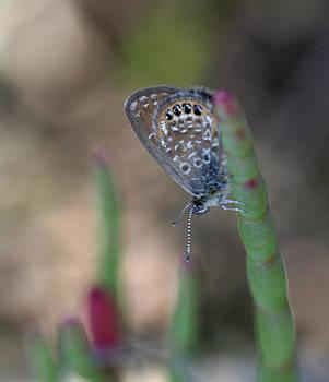 Eastern Pygmy Blue Butterfly by April Wietrecki Green