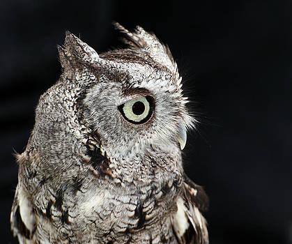 Erin Tucker - Eastern Screech Owl 1