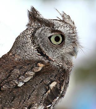 Erin Tucker - Eastern Screech Owl 2