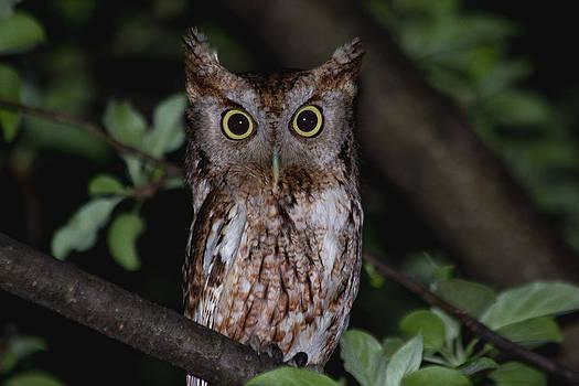 Eastern Screech-Owl by Aaron J Groen