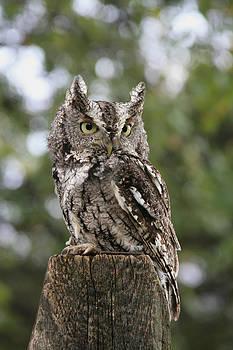 Eastern Screech Owl by Jeff Solyan