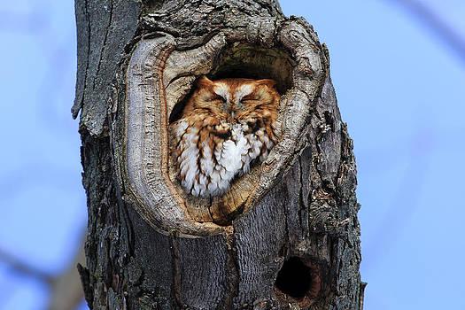 Gary Hall - Eastern Screech Owl - Red Morph