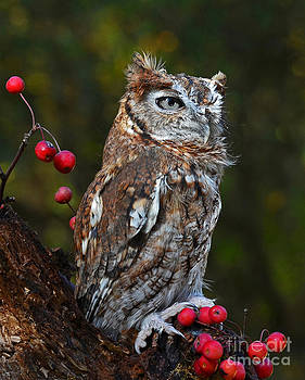 Eastern screech Owl by Rodney Campbell