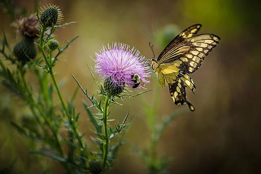 Eastern Swallowtail Butterfly by Keith Allen