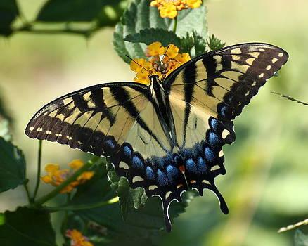 Erin Tucker - Eastern Swallowtail