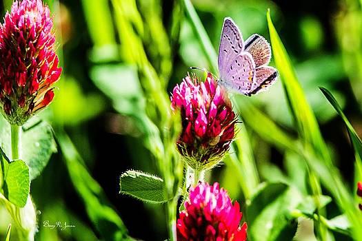 Barry Jones - Butterfly - Clover - Eastern Tailed Blue