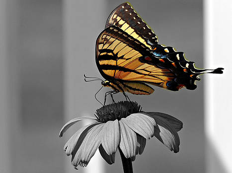 Kimberly Perry - Eastern Tiger Swallowtail Butterfly Black and White Selective Color