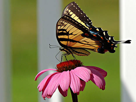 Kimberly Perry - Eastern Tiger Swallowtail Butterfly