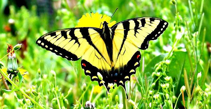 Eastern Tiger Swallowtail by Candice Trimble