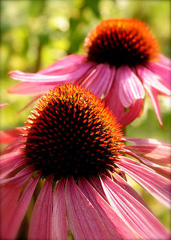 Echinacea basking in the sun by Susan Leake