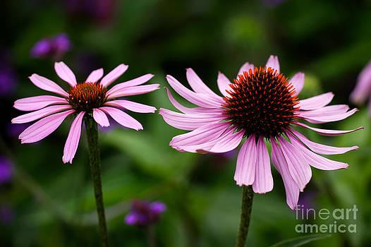 Echinacea flowers by Rosemary Calvert