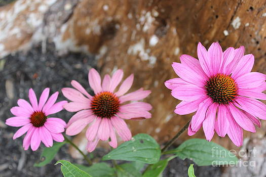 Echinacea by Jesslyn Fraser