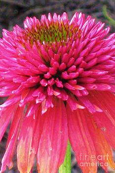 Echinacea purpurea 1 by Elizabeth Matlock