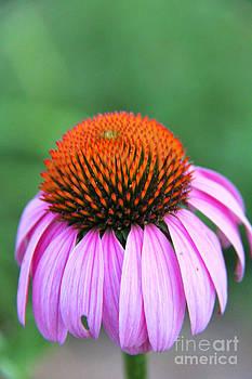Echinacea purpurea 2 by Elizabeth Matlock
