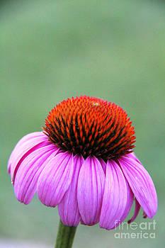 Echinacea purpurea 3 by Elizabeth Matlock