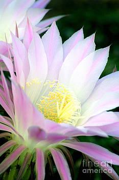 Douglas Taylor - ECHINOPSIS CACTUS FLOWER AT DAWN