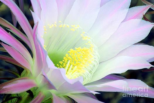 Douglas Taylor - ECHINOPSIS FLOWER AT DAWN