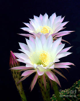 Douglas Taylor - ECHINOPSIS FLOWERS AND BUD