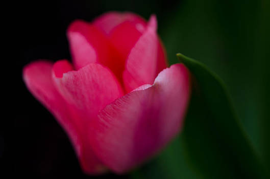 Edgy Tulip by Kathy Paynter