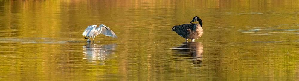 Tam Ryan - Egret and Canada Goose
