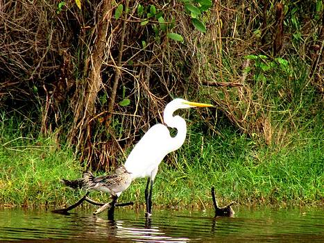Egret and Ducks by Will Boutin Photos