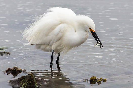 John Daly - Egret and Fish