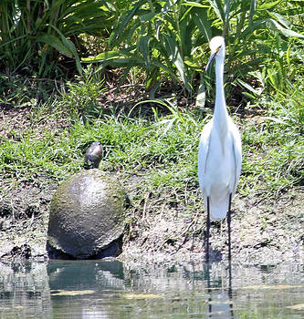Egret and turtle by Roselyn Pierce