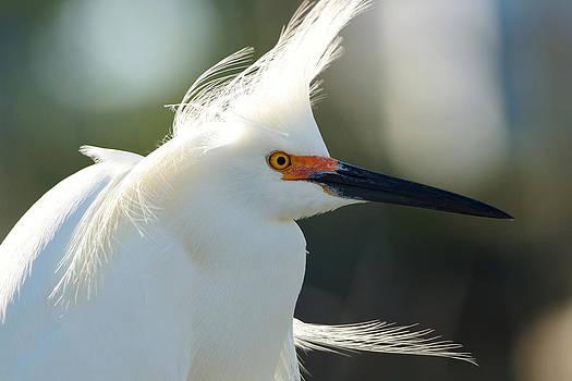 Egret Close Up 1 by Carmen Del Valle