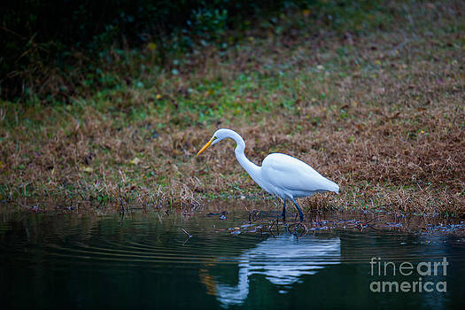 Dale Powell - Egret Hunting for Lunch