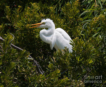 Dale Powell - Egret in Bushes