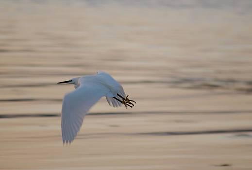 Egret In Flight  by Tom Salt