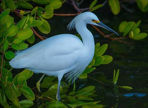 Egret in Profile by Jay Campbell