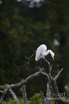 Dale Powell - Egret in Tree