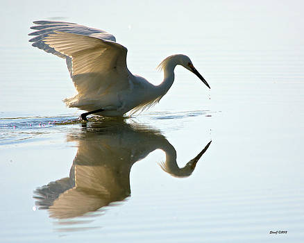 Egret Looking for Fish by Stephen  Johnson