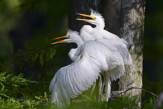 Egret Nestlings in a Cypress Swamp by Bonnie Barry