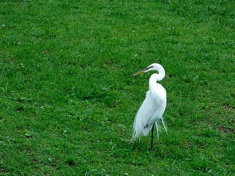 Egret relaxing by Cathyzcreations  Cathy Randall