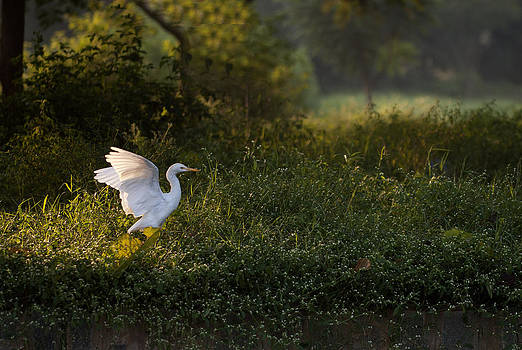 Egret under morning light taking off by Amit Rawal