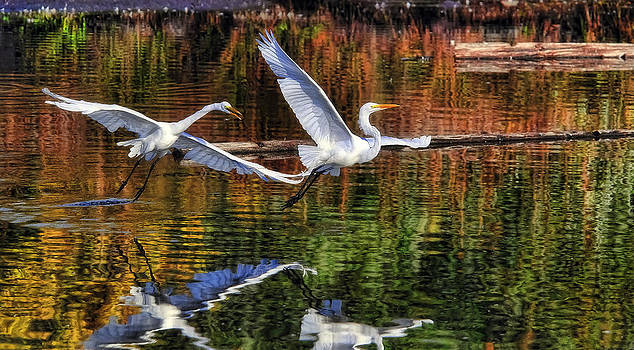 Egrets At Play by William Horden