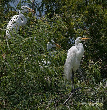 Dale Powell - Egrets in Tree
