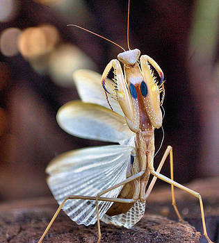Elegance In Capture - The Praying Mantis by Judith Meintjes