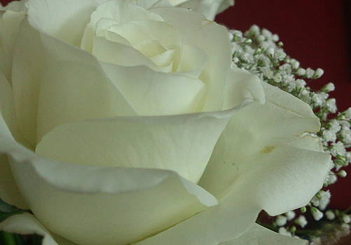 Elegant African Rose by Zeni Shariff