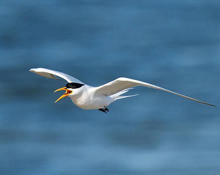 Elegant Tern by Steve Kaye