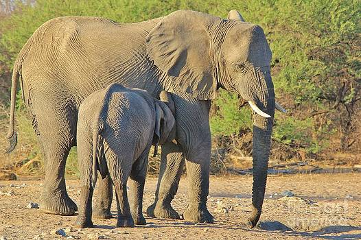Hermanus A Alberts - Elephant - Drink Milk