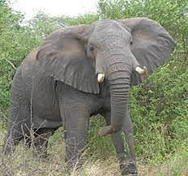Elephant by Adalberto Vazquez Gomez