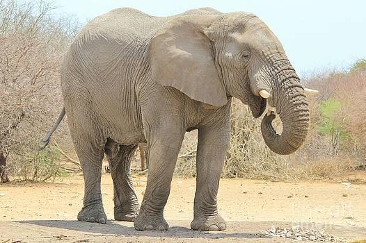 Hermanus A Alberts - Elephant Bull Feast