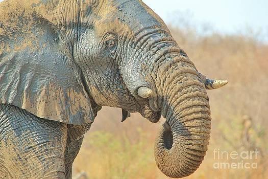 Hermanus A Alberts - Elephant Bull Harmony