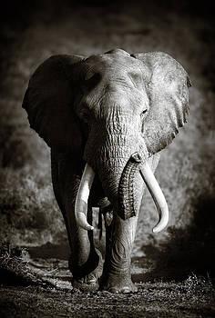 Elephant Bull by Johan Swanepoel