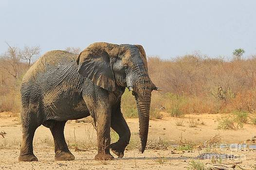 Hermanus A Alberts - Elephant Bull Make-up