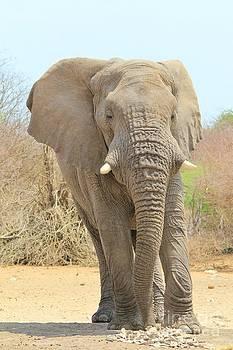 Hermanus A Alberts - Elephant Bull Portrait