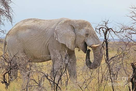 Hermanus A Alberts - Elephant bull wander